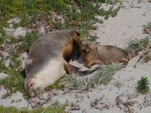 成人和婴孩海狮 免版税图库摄影