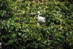 成人在树的鸟白色白鹭属Garzetta 在公园台北市的小白鹭 免版税库存图片