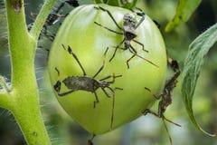 成人在蕃茄的叶子有脚的臭虫 图库摄影