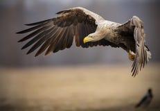 成人在飞行中白被盯梢的海鹰 免版税库存照片