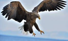 成人在飞行中白被盯梢的老鹰 科学名字:Haliaeetus albicilla 免版税库存图片