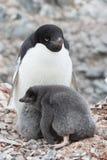成人坐在巢的Adelie企鹅和小鸡 免版税图库摄影