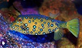 成人多维数据集cubicus ostracion热带硬鳞鱼 库存照片