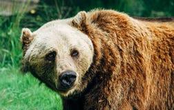 成人大棕熊熊属类arctos画象 库存照片