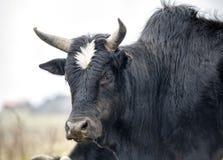 成人大牦牛头 免版税图库摄影