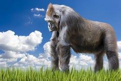 成人大猩猩在一个象草的牧场地 库存图片
