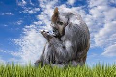 成人大猩猩在一个象草的牧场地 免版税库存图片