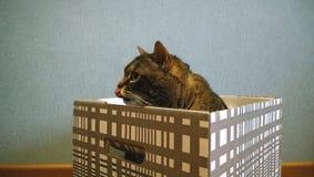 成人大猫在一个镶边箱子坐 舌头舔鼻子 库存图片