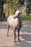 成人大角野绵羊在两Medicines湖地区在冰川国家公园在蒙大拿美国 库存照片
