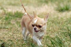 成人奇瓦瓦狗头发的短小 免版税库存照片