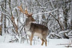 成人小鹿大型装配架关闭 庄严强有力的小鹿,黄鹿黄鹿,在冬天与鹿雄鹿的ForestWildlife场面 男性O 图库摄影