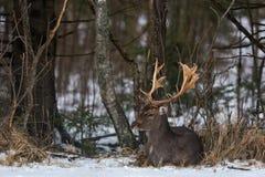 成人小鹿大型装配架黄鹿黄鹿 一只美丽的小鹿雄鹿在森林下木的雪说谎 男性鹿休闲地D 免版税库存图片