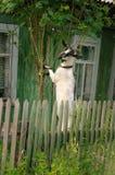成人山羊吃花揪的枝杈 库存照片