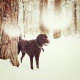 成人布朗拉布拉多猎犬使用 免版税库存图片