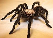 成人得克萨斯布朗塔兰图拉毒蛛黑色蜘蛛 免版税库存图片