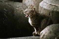 成人恼怒的猫咆哮迷路者 免版税库存图片