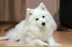 成人日本波美丝毛狗 免版税图库摄影
