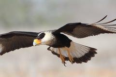 成人有顶饰长腿兀鹰-在飞行中得克萨斯 免版税库存照片