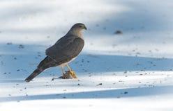 成人木桶匠的鹰(鹰类cooperii)在与它的爪的春天雪上面坐被锁在牺牲者上新杀害  免版税图库摄影
