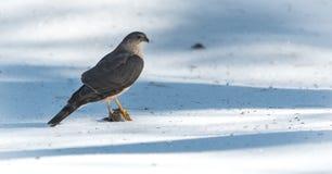 成人木桶匠的鹰(鹰类cooperii)在与它的爪的春天雪上面坐被锁在牺牲者上新杀害  免版税库存照片