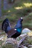 成人松鸡显示男性北欧产雷鸟类urogallus 免版税库存照片
