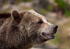 成人棕熊接近的画象  堪察加熊熊属类arctos beringianus画象  免版税库存照片