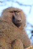 成人橄榄色的狒狒画象  库存图片