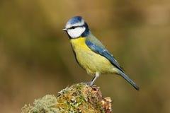 成人欧亚蓝冠山雀鸟Cyanistes caeruleus 库存照片