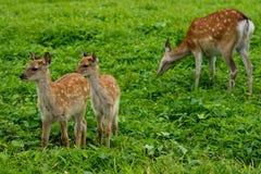 成人母鹿和她的小鹿 库存图片
