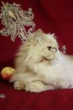 成人波斯猫画象用桃子 免版税库存图片