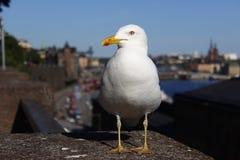 成人海鸥坐在城市的背景的具体篱芭在一好日子 小心地调查照相机 免版税库存照片