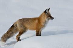 成人狐狸红色 库存图片