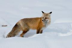 成人狐狸红色 免版税库存照片