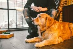 成人狗一只金毛猎犬, abrador在一位公交配动物者的所有者` s腿旁边说谎 在a的房子内部 免版税库存照片
