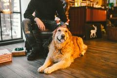 成人狗一只金毛猎犬, abrador在一位公交配动物者的所有者` s腿旁边说谎 在a的房子内部 免版税库存图片