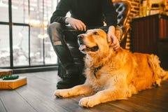 成人狗一只金毛猎犬, abrador在一位公交配动物者的所有者` s腿旁边说谎 在a的房子内部 库存照片