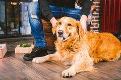 成人狗一只金毛猎犬, abrador在一位公交配动物者的所有者` s腿旁边说谎 在a的房子内部 库存图片
