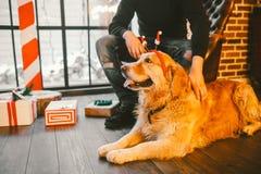 成人狗一只金毛猎犬, abrador在一位公交配动物者的所有者` s腿旁边说谎 在a的房子内部 免版税图库摄影
