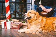 成人狗一只金毛猎犬, abrador在一位公交配动物者的所有者` s腿旁边说谎 在一个木地板n上的房子内部 免版税图库摄影
