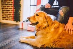 成人狗一只金毛猎犬, abrador在一位公交配动物者的所有者` s腿旁边说谎 在一个木地板n上的房子内部 库存照片