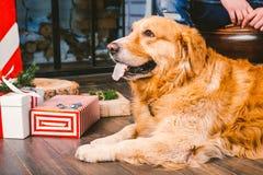 成人狗一只金毛猎犬, abrador在一位公交配动物者的所有者` s腿旁边说谎 在一个木地板n上的房子内部 免版税库存照片