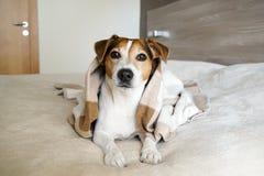 成人狗杰克在卧室的罗素包裹在毯子 库存图片