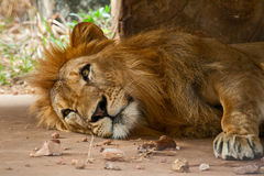 狮子在动物园里 图库摄影