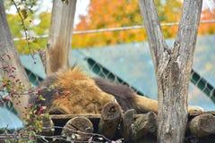 成人狮子睡觉动物园秋天 免版税图库摄影