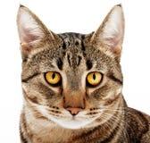 成人猫。 免版税库存照片