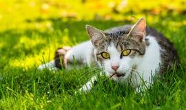 成人猫使用与老烘干事假在庭院里 库存照片