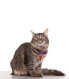 成人猫 免版税图库摄影