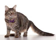 成人猫 免版税库存照片
