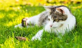 成人白平纹猫休息在庭院里 免版税库存照片