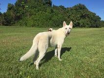 成人白色牧羊犬和小狗与飞碟在绿草 免版税库存照片
